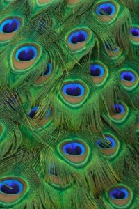 peacock_tailfeathers_closeup